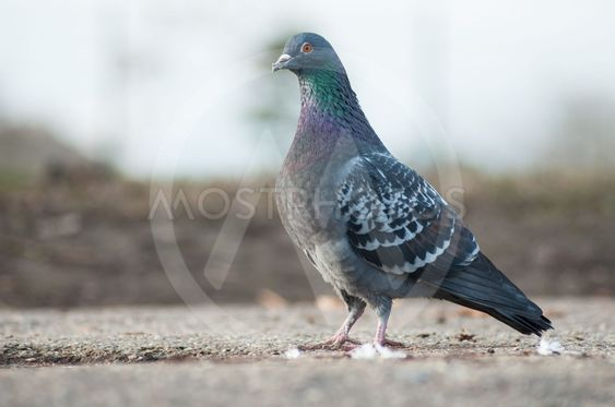 pigeon walking in urban park