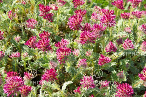 Wundklee - Anthyllis montana 05