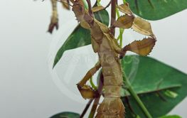 The giant prickly stick insect