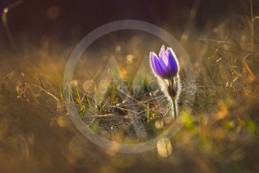 Springtime and spring flower. Beautiful purple little...