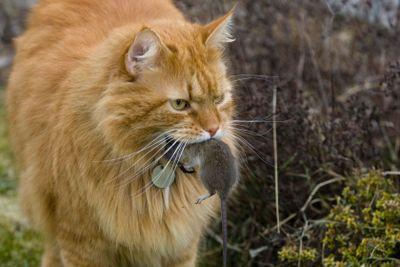 En katt har fångat en mus