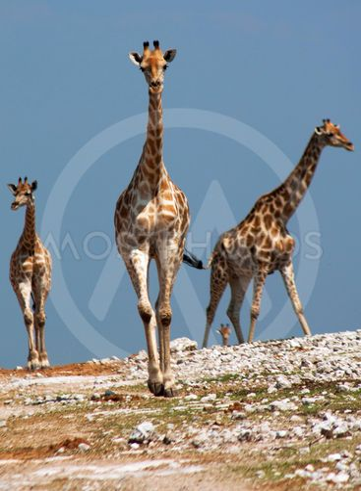 The giraffe (Giraffa camelopardalis)