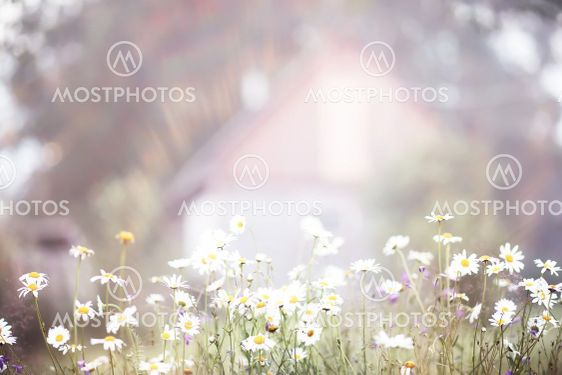 Fog in the field. Evening nature summer with white fog.