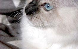Ragdoll kattunge
