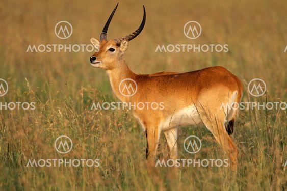 Röd Letjevattenbock antilop