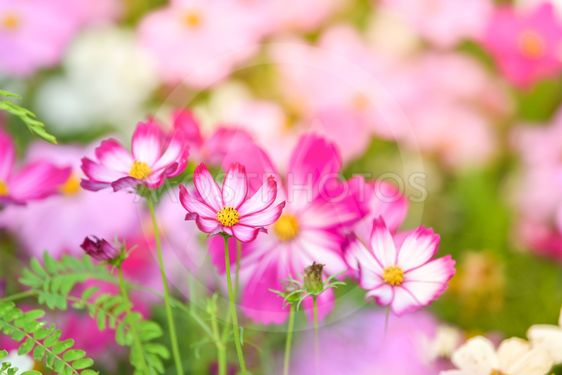 Pink Cosmos Flower In Cosmo By Chatchai Somwat Mostphotos