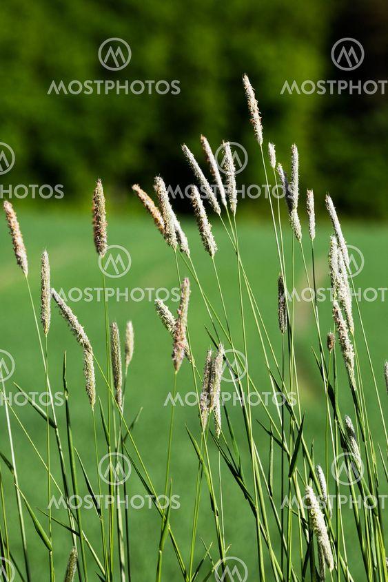 Vilde græs baggrund