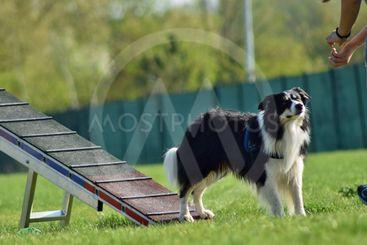 Dog, border collie in agility in zone
