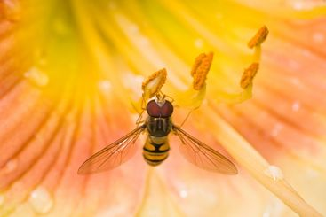 Hoverfly on daylily flowers