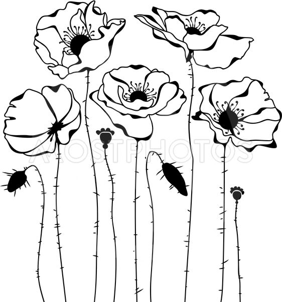 Poppies silhouette on white background