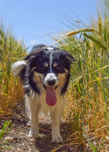 Border collie is sitting in the field.