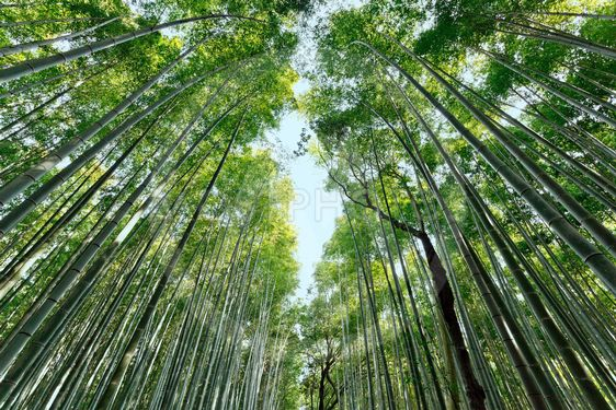 Japansk Bambus Skov Fra Stephane Bidouze Mostphotos