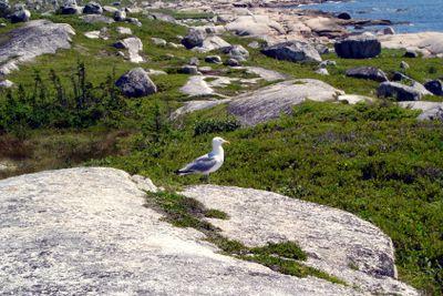 Seagull on a granite rock