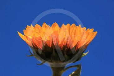 Sunflower close-up against sky