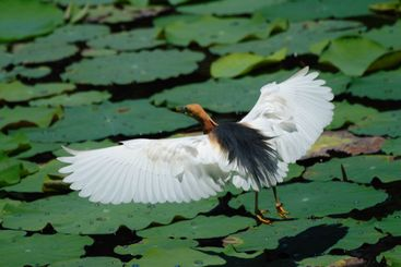 Flying Chinese Pond Heron.