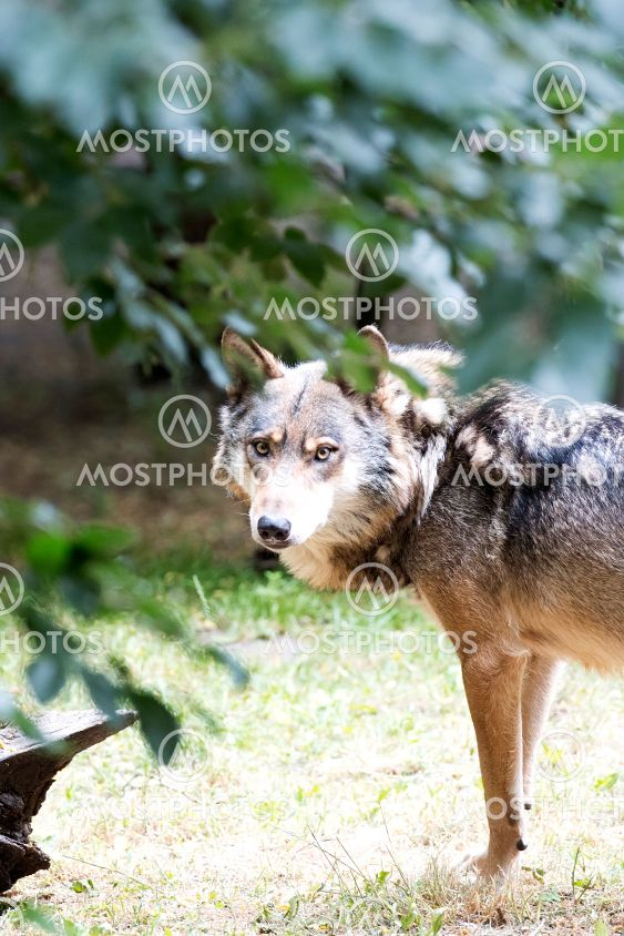 Wolf in the forest a portrait