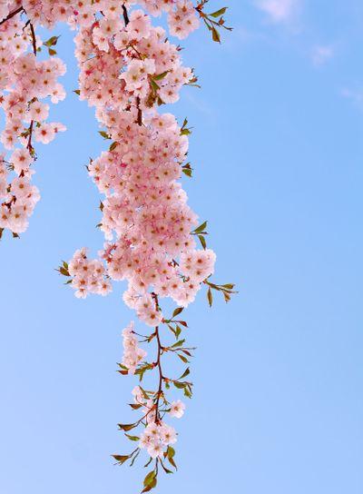 Pink cherry bloom.