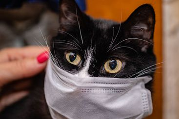 Black cat and protective medical mask against viruses in...