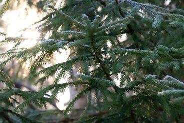 Gröna granar i vackert vinterljus - Silvertid
