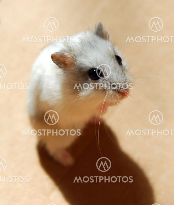 Hamsterin