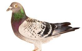 full body of speed racing pigeon bird standing isolate...