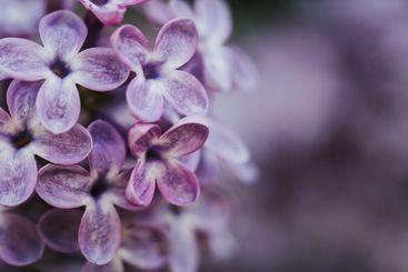 Beautiful lilac bloom, nature background, macro...
