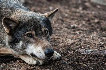Grey Wolf Canis Lupus lying down