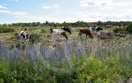 Sommarblommor och betande kor på alvaret på södra Öland