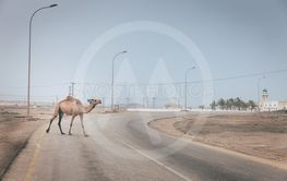 Camel on the road in Oman