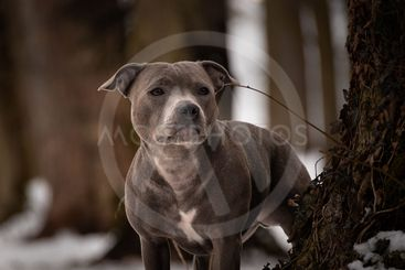 Potrait of staffordshire bull terrier under the pine.