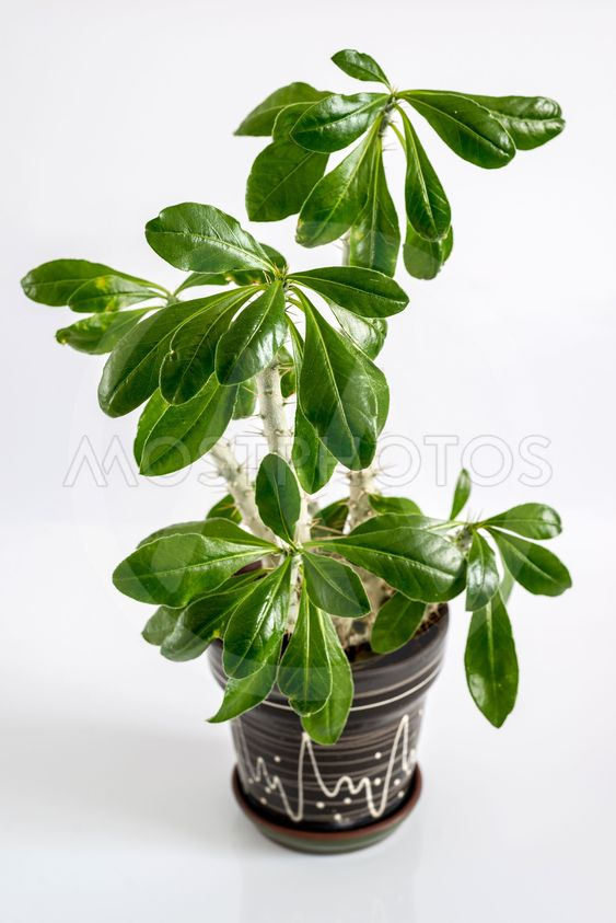Euphorbia room in  pot on  light background