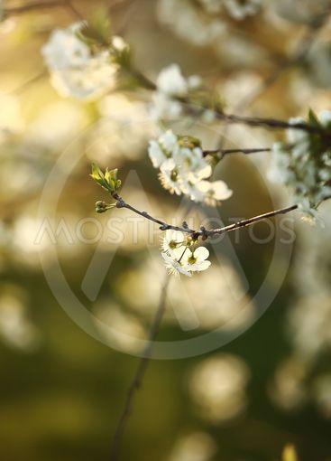 spring season. Spring Cherry blossoms, white flowers.
