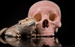 Lizard, Agama, dragon and skull