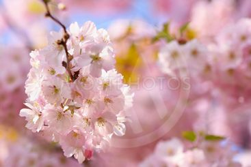Blossom tree. Nature background in sunny day. Spring...