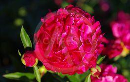 Röd pion, Paeonia lactiflora, Karl Rosenfield.