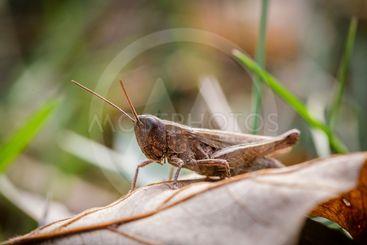 Lesser Marsh Grasshopper, Chorthippus albomarginatus,...