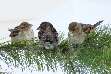 Three sparrows on a branch