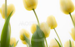 Blured yellow tulips