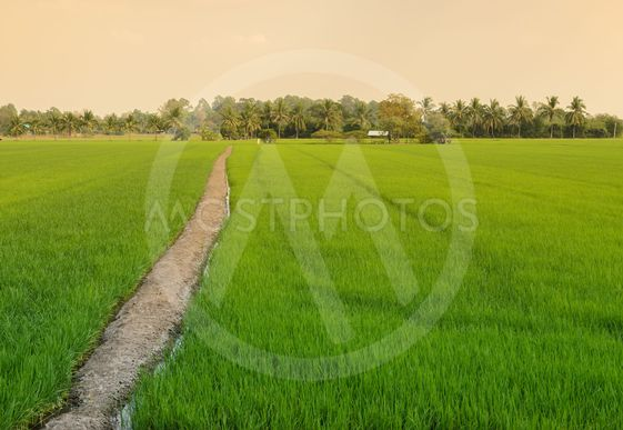 Green rice field with trail
