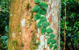 Parasitic vine plant