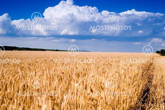 Vete fält och blå himmel