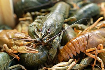 close up. freshwater lobsters or crayfish.