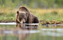 brown bear drinking water at summer evening