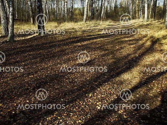 autumn - city park - birch grove