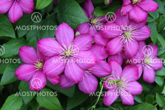 Purple clematis flowers on a background of green leaves.