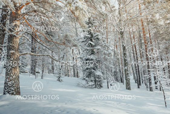 Cold weather in winter forest. Branches of trees are...