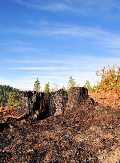Burnt Tree Stump