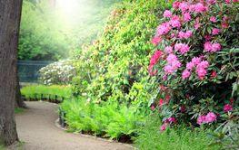 Morning Light in Rhododendron Garden