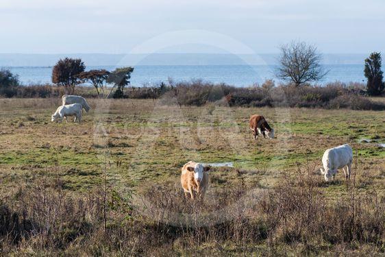 Betande boskap i naturreservatet vid Beijershamn på Öland