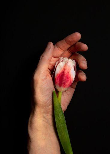 scarlet tulip bud on a man's palm